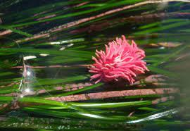 Surfgrass – Phillospadix scouleri