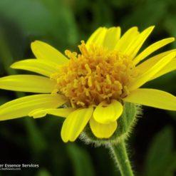Arnica (California)-Arnica Mollis (Frasco Tratamiento)