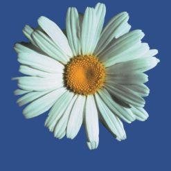 Shasta Daisy-Chysanthemun Máximun (Frasco Tratamiento)