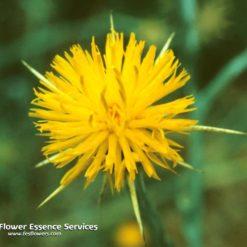 Star Thistle-Centaurea Solstitialis. (Frasco Tratamiento)ió