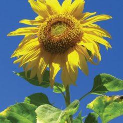 Sunflower-Helianthus Annus (Frasco Tratamiento)