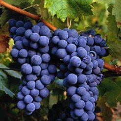 Uva (Grape)