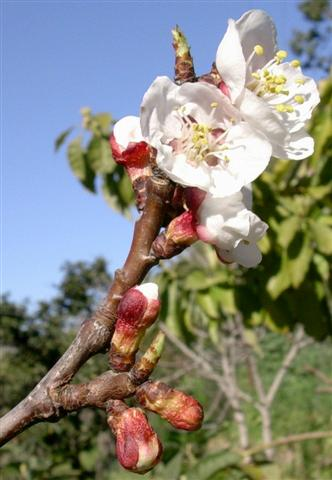 Albaricoque (Prunus armeniaca)