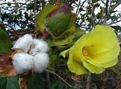 Algodón - Gossypium arboreum