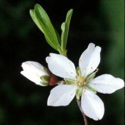 Almendro (Prunus Amygdalus)