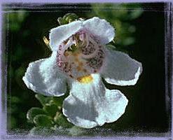 Alpine Mint Bush - Prostanthera cureata