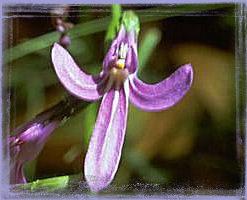 Angelsword - Lobelia gibbosa
