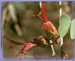 Bauhinia - Lysiphyllum cunningghamii