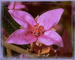 Boronia - Boronia ledifolia