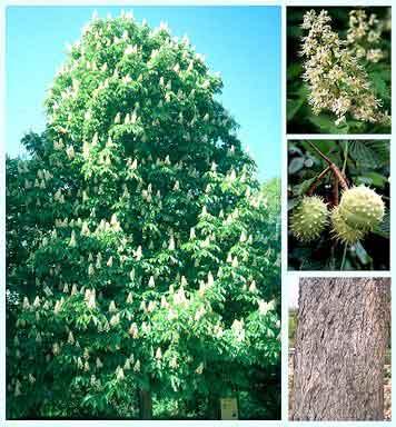 Castaño Blanco (Aesculus hippocastanum) o White Chestnut