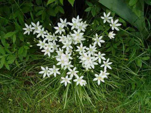 Estrella de Belén (Ornithogalum umbellatum) STAR OF BETHLEHEM