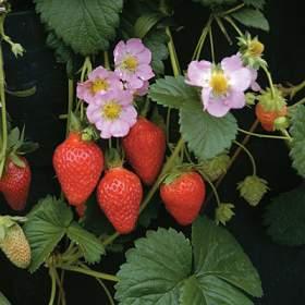 Fresa (Strawberry)