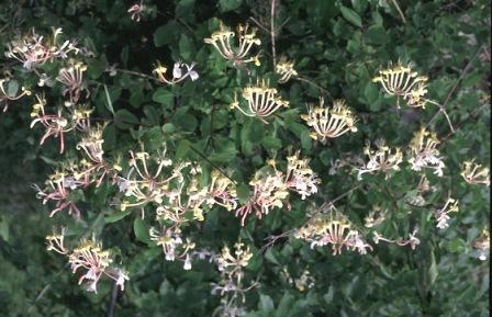 Madreselva (Lonicera caprifolium) HONEYSUCKLE