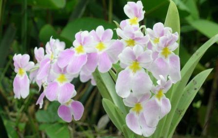 ORQUÍDEA ANGEL DE PROTECCION (Miltonea vexillaria)