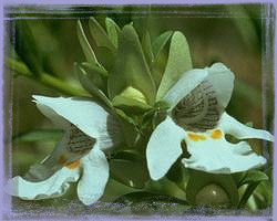 Mint Bush-Prostan Thera Striatiflora