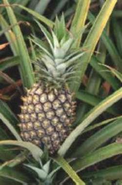 Piña (Pineapple)