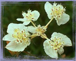 Southern Cross - Xanthosia rotundifolia