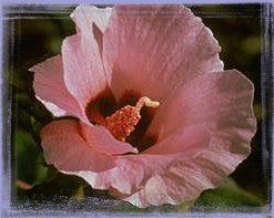 Sturt Desert Rose-Gossypium Sturtianum