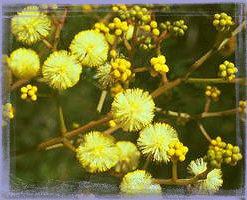 Sunshine Wattle-Acacia Terminalis