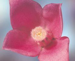 Sydney Rose - Gossypium sturtianum