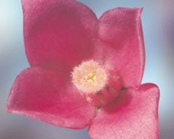 Sydney Rose – Gossypium sturtianum