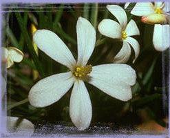 Wedding Bush-Ricinocarpus Pinifolius