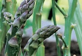 Esparrago – Asparagus Officinalis