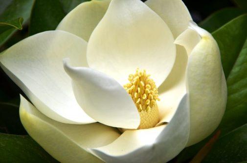 Magnolia – Magnolia Grandiflora